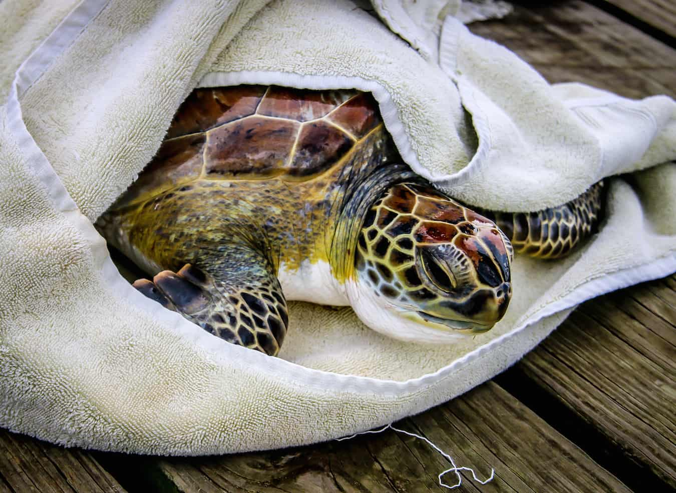 Sea Turtle Inc Rescues Sea Turtle