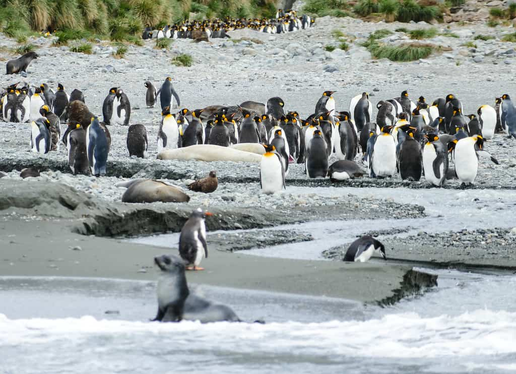 Seals and king penguins crowd the beach at Cooper Bay on South Georgia Island
