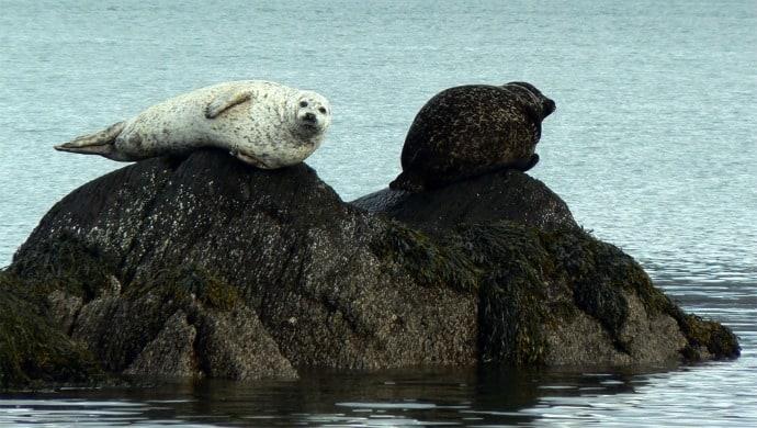 Seals off Irish Coast