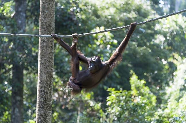 Baby Bornean Orangutan at Sepilok Orangutan Rehabilitation Centre