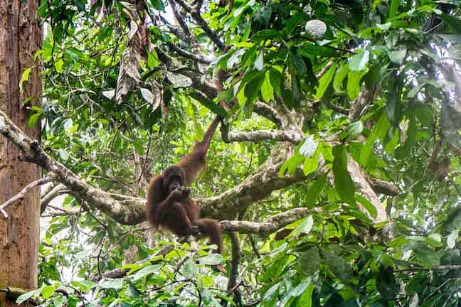 Things to do in Malaysia for Nature Lovers: Sepilok Orangutan Rehabilitation Center in Sabah, Borneo