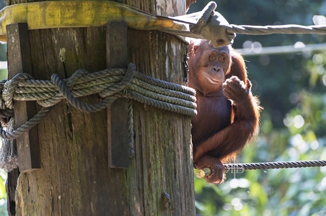 Things to do in Malaysia for Nature Lovers: Bornean Orangutan at Sepilok Rehabilitation Centre, Malaysia