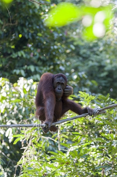 Bornean Orangutan at Sepilok Rehab Centre in Malaysia