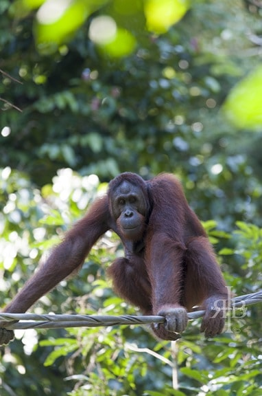 Orangutan Facts -Bornean Orangutan at Sepilok Rehab Centre in Malaysia