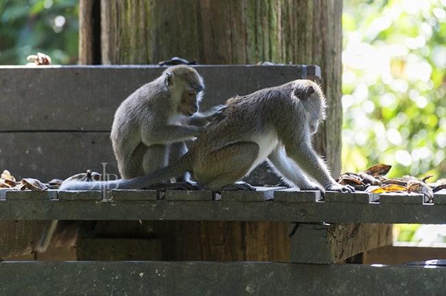 Long-Tailed Macaques at Sepilok Orangutan Rehabilitation Centre