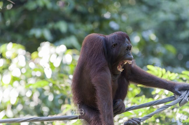 Bornean Orangutan Yawns at the Sepilok Rehab Centre in Malaysia