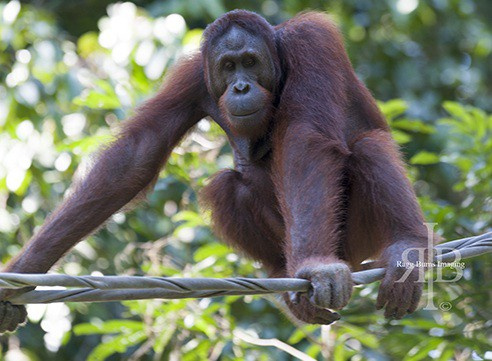 Bornean Orangutan at Sepilok Rehab Centre, Malaysia