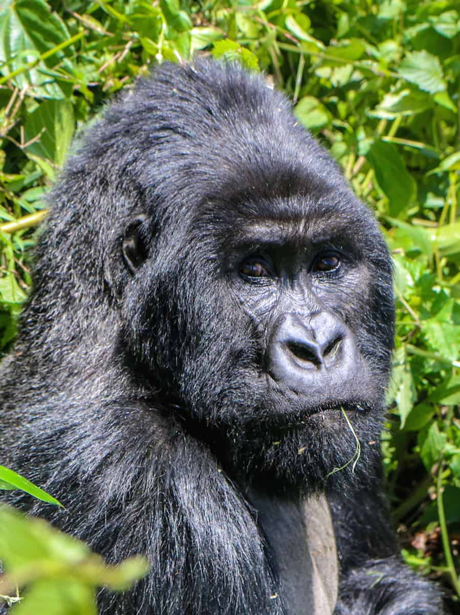 Dian Fossey Gorilla Fund International- Sabyinyo Group Silverback