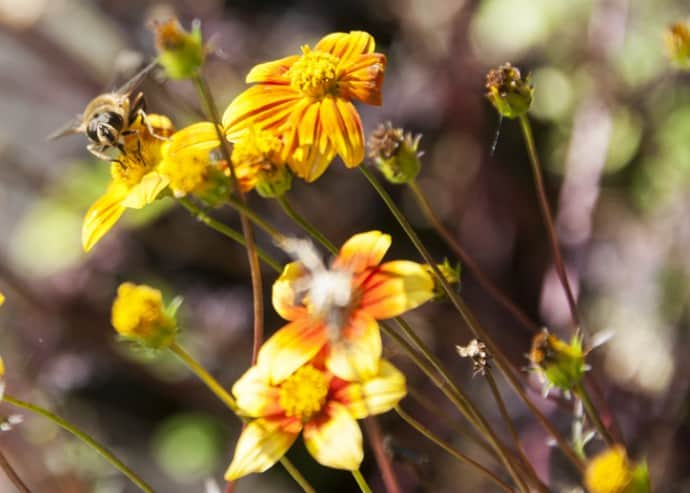 Bees pollinate local flowers