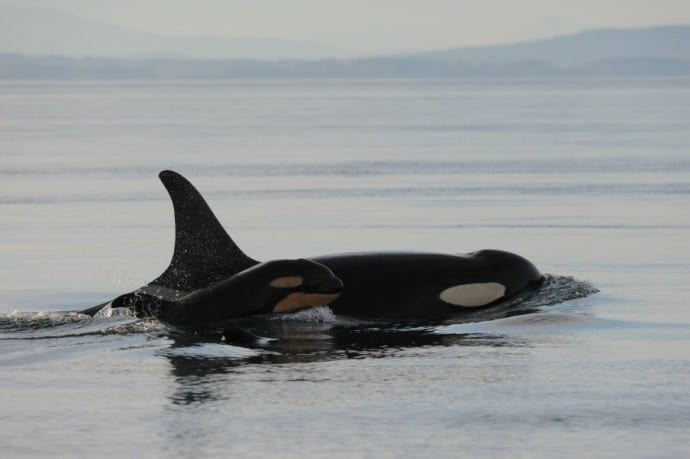 Southern Resident Killer Whales by Centre for Whale Research