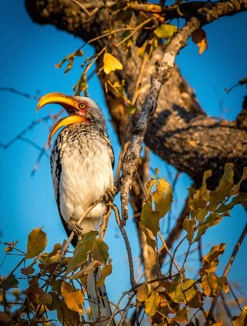 Southern Yellow Billed Hornbill in Kruger National Park
