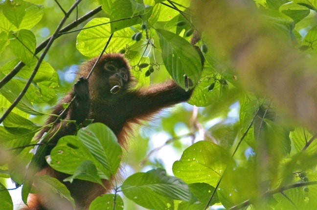 Costa Rica Spider Monkey in Corcovado National Park