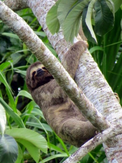 Spotted more sloths in Bolivia than in Costa Rica