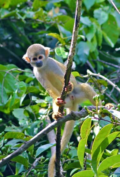 Squirrel Monkey- Ain't He Cute?