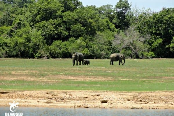 Sri Lanka Wildlife: Elephant Family