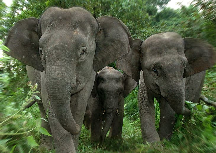 SumatranElephants jpgSumatran Elephant