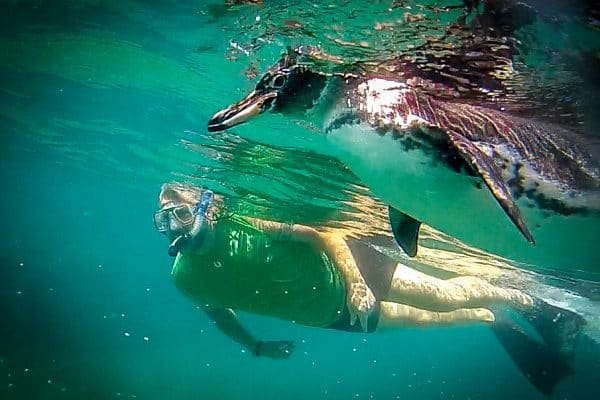 Secrets to Swimming With Galapagos Penguins