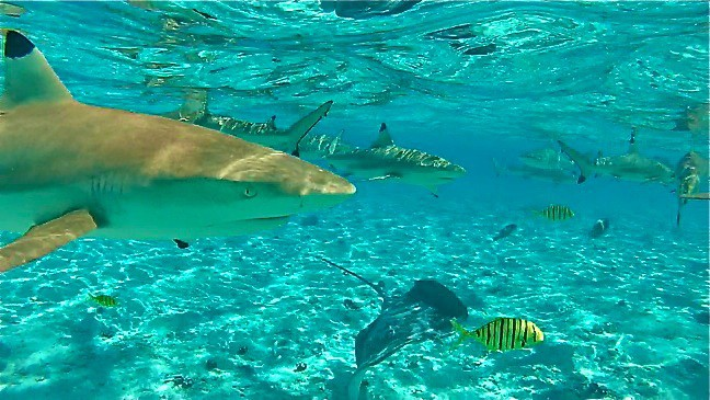 Swimming with Sharks in Bora Bora, Tahiti