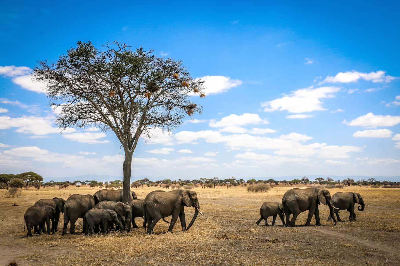 Herd of Endangered Elephants in Tanzania