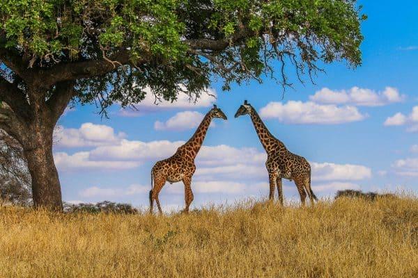 Masai Giraffes in Tanzania