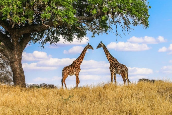 Tanzania National Parks: Giraffes in Tarangire National Park
