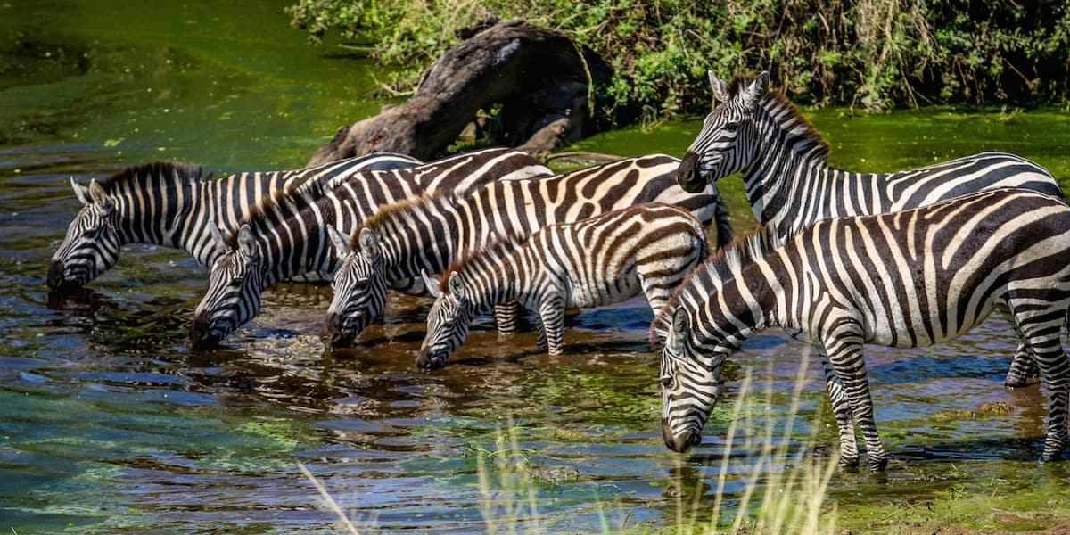 Zebras in Serngeti National Park