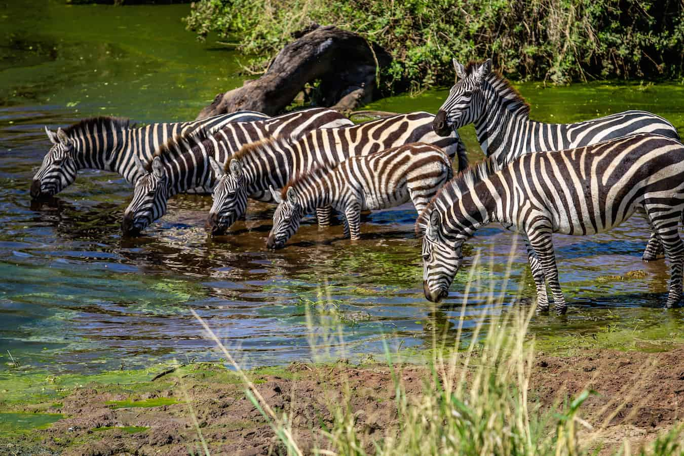 Nervous Zebras at a Watering Hole in Serengeti National Park