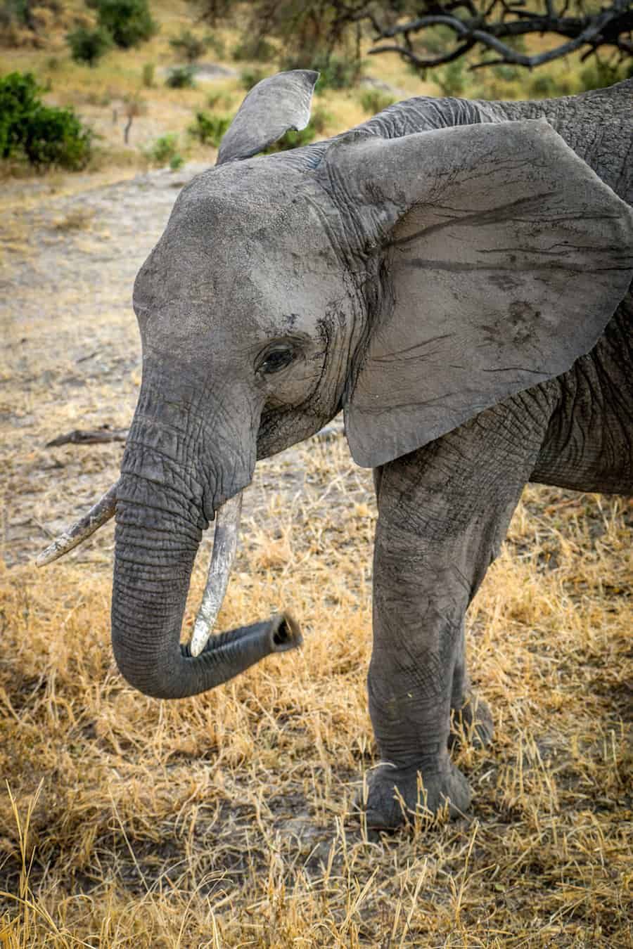 Adolescent Elephant in Tarangire National Park, Tanzania