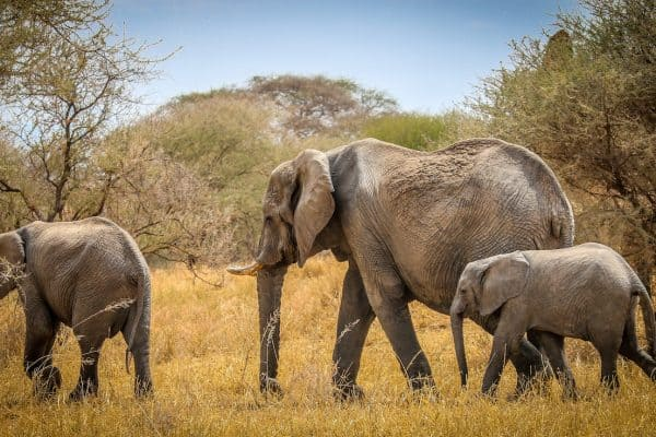 Facts about Elephants: Family of Endangered Elephants on the Move in Tarangire National Park, Tanzania