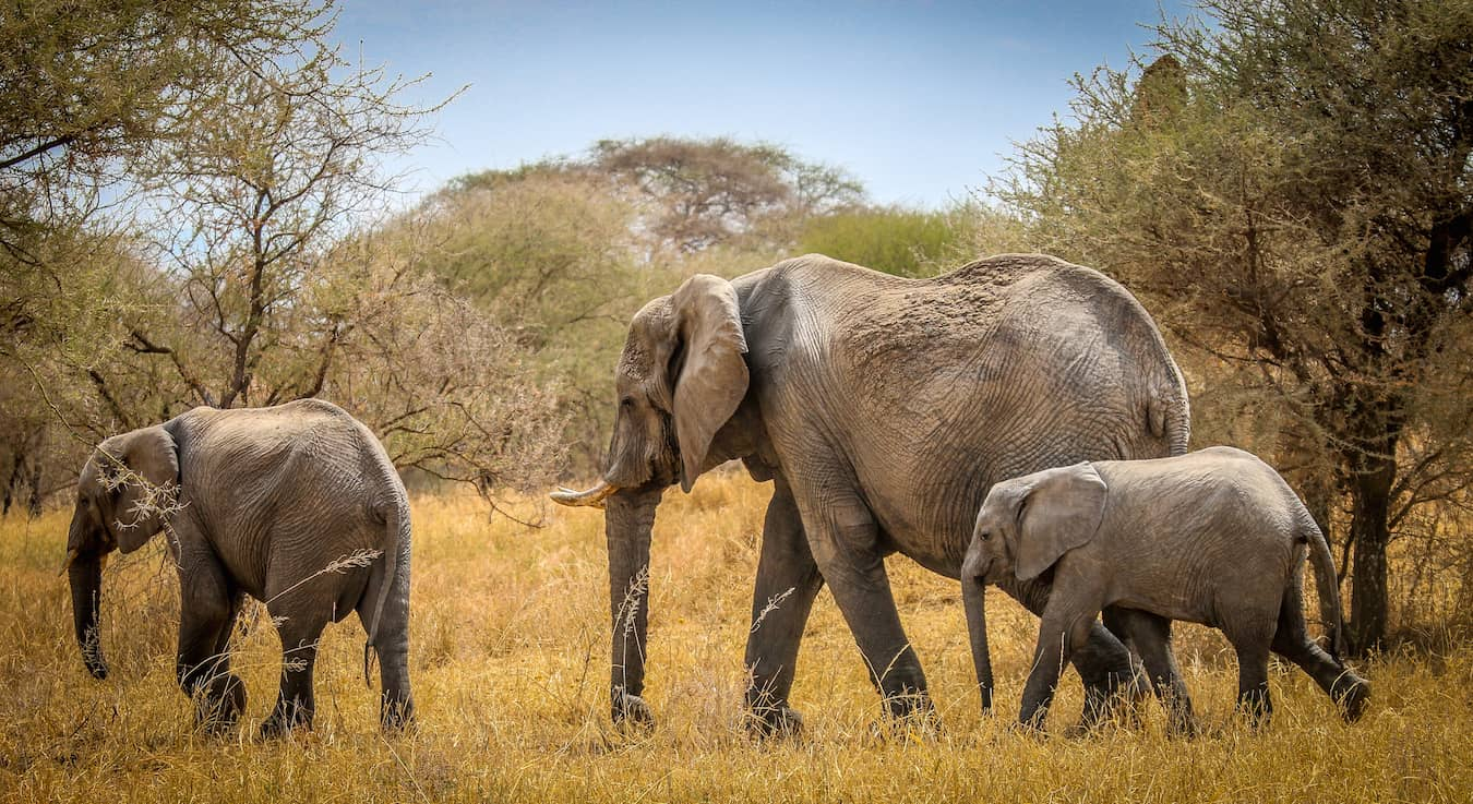 African Elephant Facts: Family of Endangered Elephants on the Move in Tarangire National Park, Tanzania