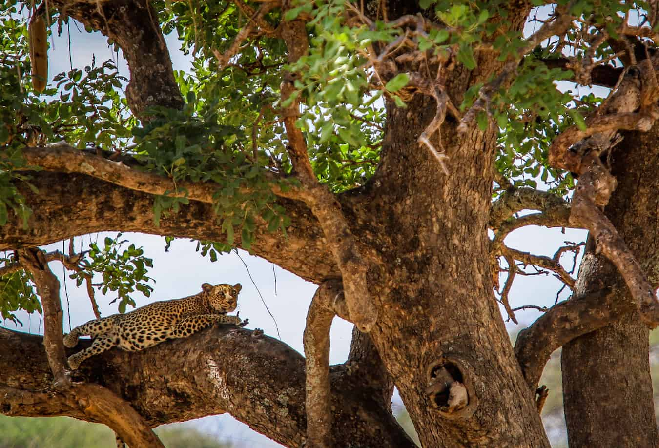 Leopard Spotted in Tarangire National Park, Tanzania