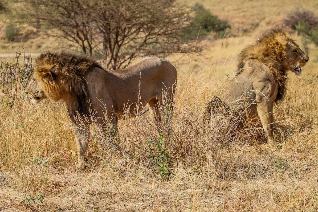 Male Lions in Tarangire National Park, Tanzania