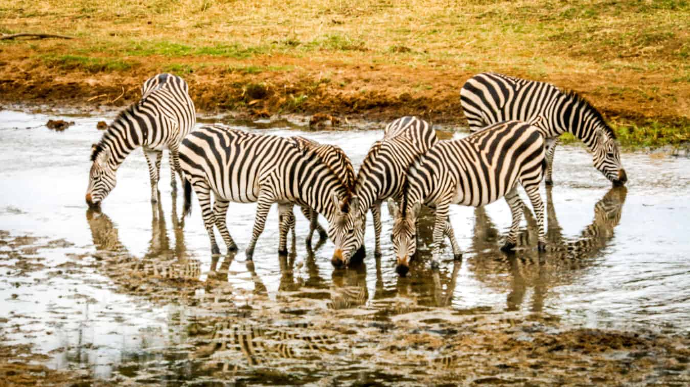 Zebras Drinking from the River in Tarangire National Park