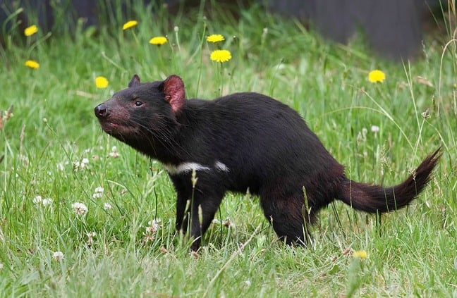 Tasmanian Devil Photo by JJ Harrison via Creative Commons