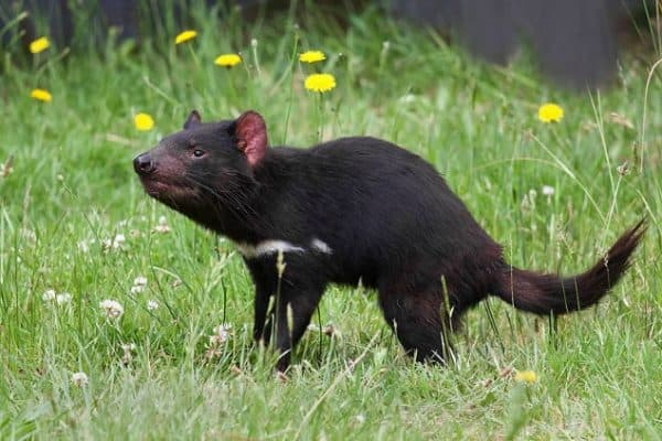 ENDANGERED SPECIES SPOTLIGHT: Tasmanian Devils