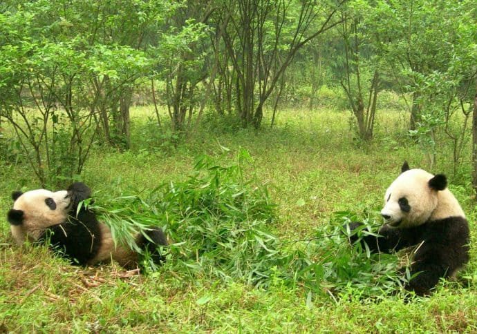 Things to do in China for Nature Lovers- Sichuan Giant Panda Sanctuary