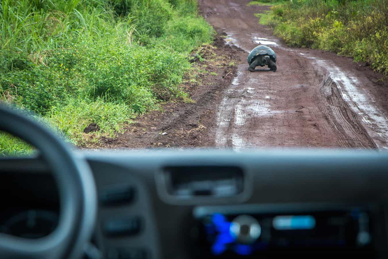 Galapagos Tortoise on Santa Cruz ISland