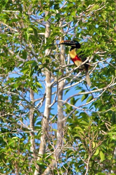 Toucan In Amazon