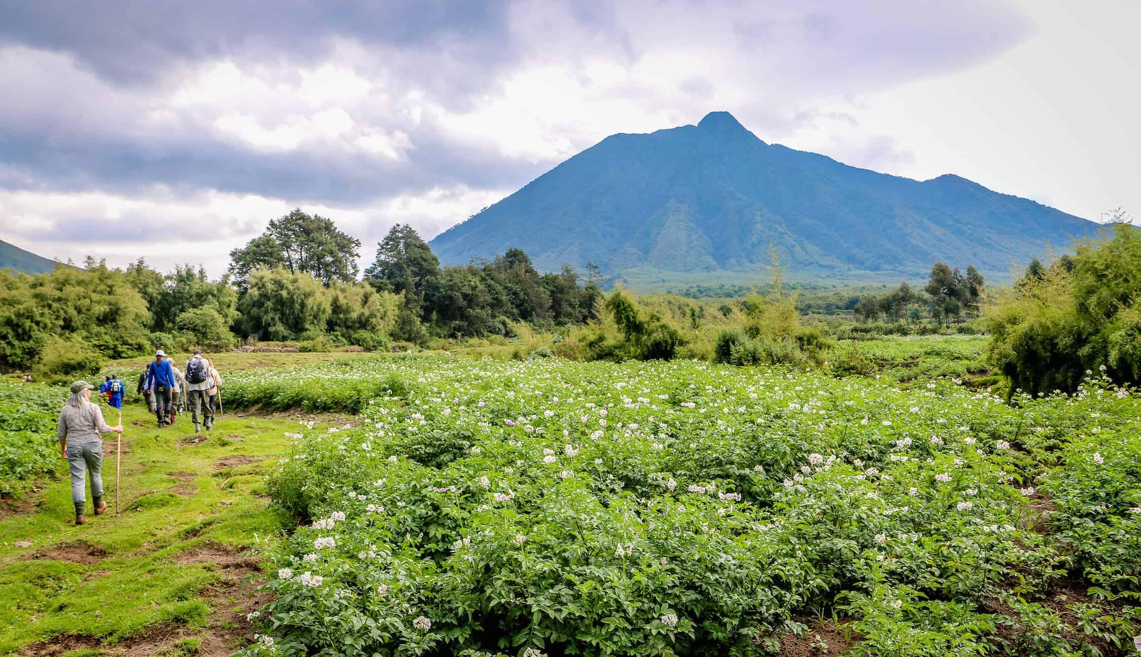 Trekking in Rwanda's Parc National des Volcans