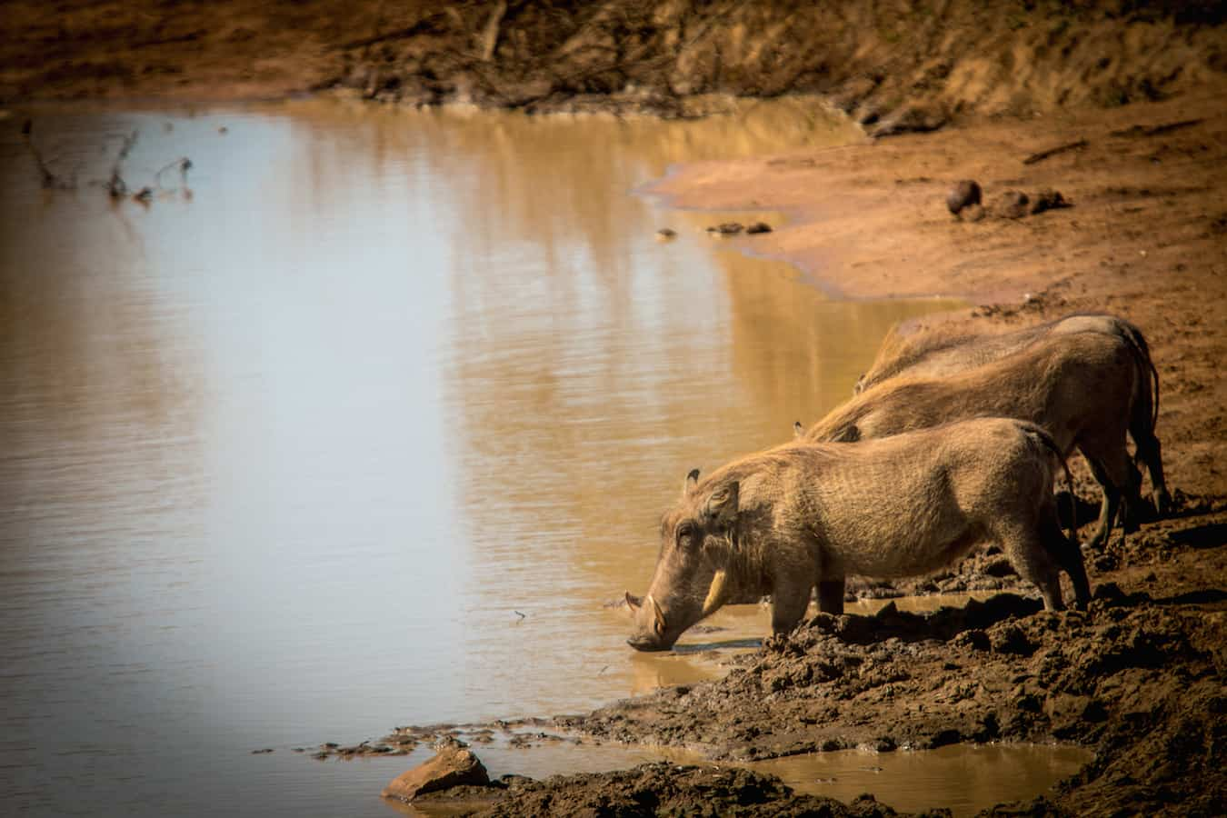 Warthogs in Kruger National Park