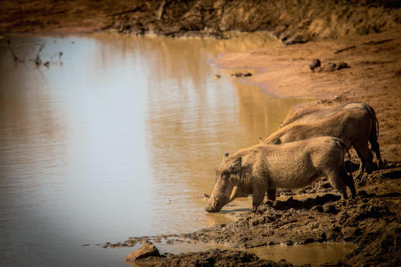 Warthogs in Kruger National Park