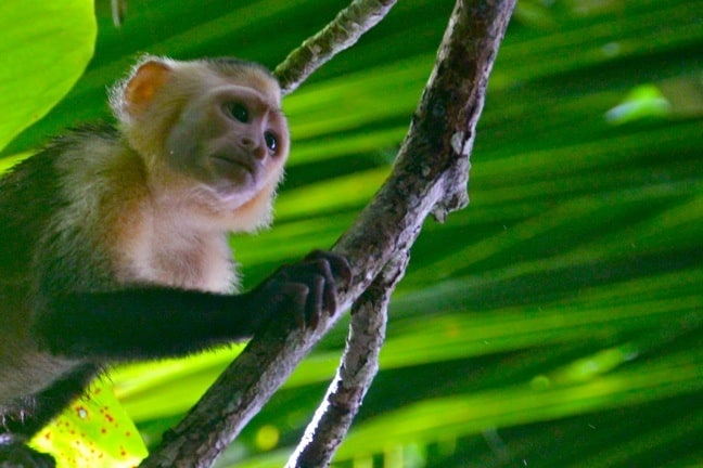 Monkeys of Costa Rica -White-Faced Capuchin Monkey in Corcovado National Park