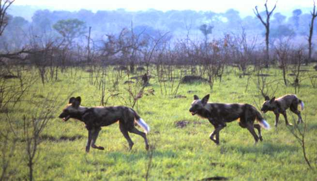 Very rare glimpse of Wild Dogs- one of Africa's most endangered mammal species