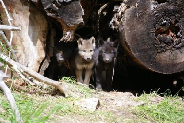 INTERVIEW: Defenders Of Wildlife Wolf Conservation Expert Suzanne Stone