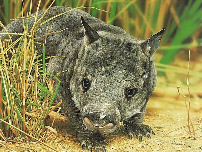 Weird Burrowing Animals Around The World, Northern Hairy-Nosed Wombat
