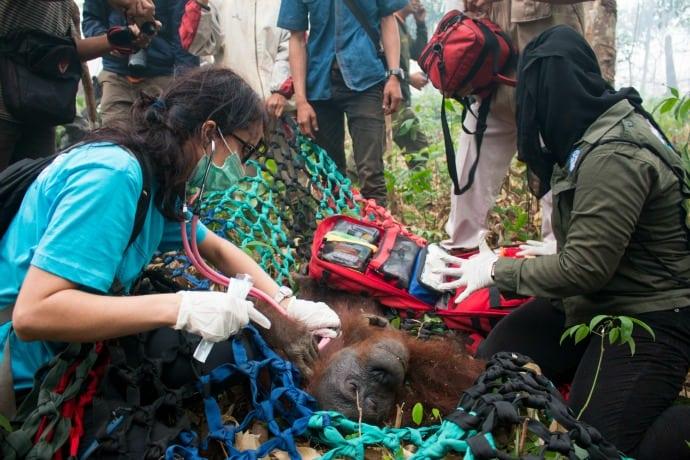 Yayasan IAR Indonesia Orangutan Rescue