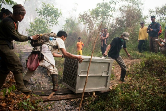 Yayasan IAR Indonesia transport orangutan to safety