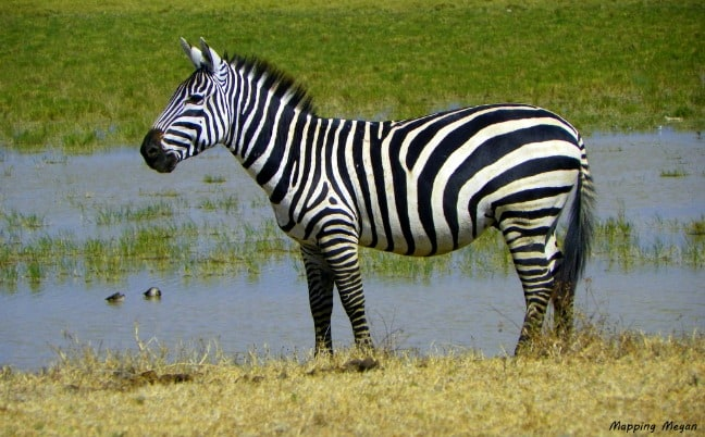 Zebra by watering hole