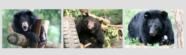 Rescued Moon Bears at the Animals Asia Foundation Sanctuaries