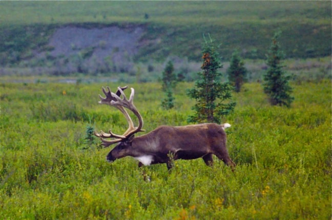 Caribou in Denali National Park, Alaska
